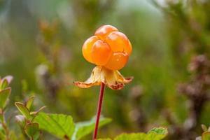 Nahaufnahme einer Moltebeere, die noch auf dem Sumpf wächst foto