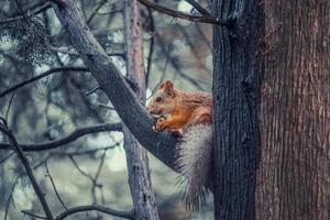 rotes Eichhörnchen auf einem Baum, der eine Nuss hält. foto