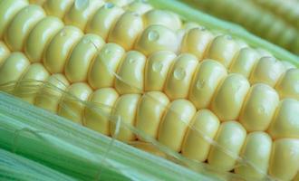 natürlicher Hintergrund mit Maiskolben-Nahaufnahme. foto