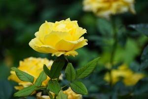 helle Gartenrosen auf grünem Hintergrundsommertag foto