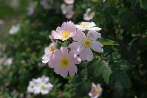 rosa Rosenblüten auf einem grünen Busch. foto