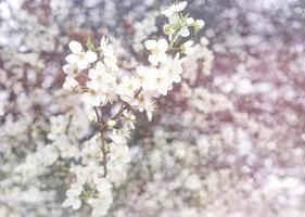 blühender Obstbaum auf einem schönen weißen Bokehhintergrund. foto
