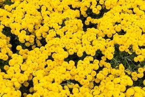 florale Hintergrundblume gelbe Chrysanthemen foto