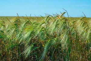 Weizenfeld. landwirtschaftliches Feld mit verschiedenen Weizensorten foto