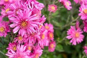 rosa Chrysanthemenblumen auf unscharfem grünem Hintergrund. Russland, soch foto