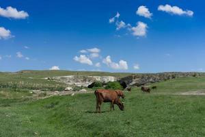junger schwarzer Stier auf einem grünen Feldhintergrund. foto