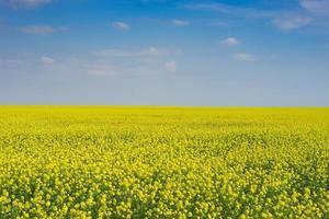 sonnige Landschaft mit hellgelbem Rapsfeld foto