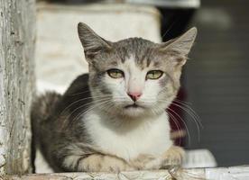 Porträt einer weißbraunen Katze Nahaufnahme foto