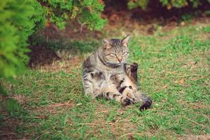 schöne gestreifte Katze foto
