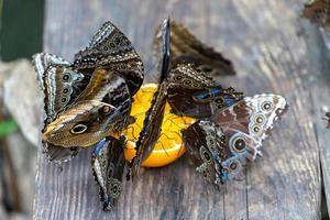 Fütterung von Schmetterlingen Orangensaft. foto