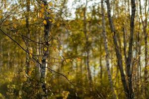 natürlicher Herbsthintergrund mit Birken foto