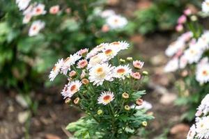 Chrysanthemenblumen auf einem unscharfen Hintergrund foto