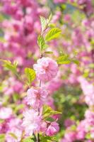 Makrofoto der Natur rosa sakura Blumen. foto