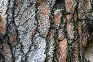 geprägte Rinde einer Kiefer mit natürlicher Textur foto