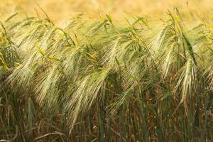 landwirtschaftliche Landschaft des goldenen reifen Weizenfeldes foto