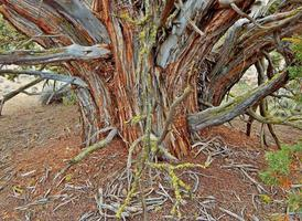 alter Wacholder - östlich von Redmond oder foto