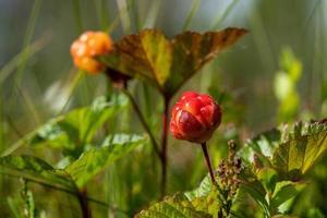 Nahaufnahme von frischen Moltebeeren, die noch auf der Pflanze wachsen foto