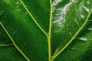 glänzend grünes Blatt mit gelben Adern foto
