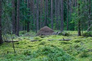 Ameisenhaufen mitten in einem grünen Kiefernwald foto