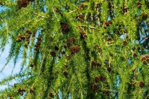 Nahaufnahme eines grünen Lärchenbaums mit Zweigen voller Zapfen foto