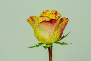 eine einzelne gelbe und rote Rose, die mit Feuchtigkeit bedeckt war foto