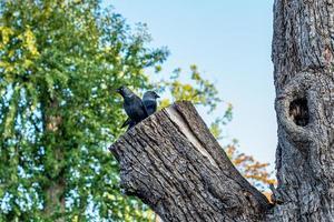 zwei Jack Dawn Vögel sitzen auf einem großen Baumstamm foto