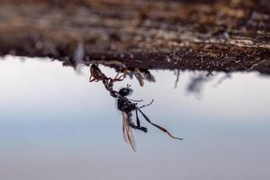 Ameise schleppt eine große Mücke nach Hause zum Ameisenhaufen foto