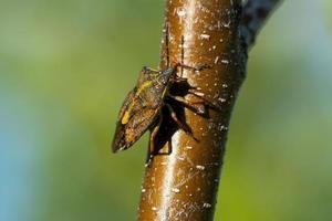 Schildwanze im Frühlingssonnenlicht foto