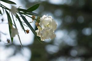 Blume weißer Oleander auf unscharfem grau-grünem Hintergrund foto