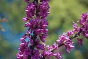 rosa Blüten Cercis auf den dünnen Zweigen foto