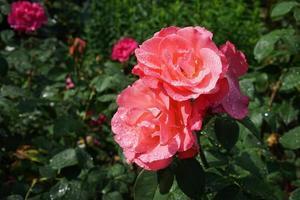 Rose im Regen getränkt und senkte die Köpfe foto