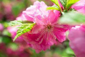 schöner blumiger rosa Hintergrund der Sakurablumen foto