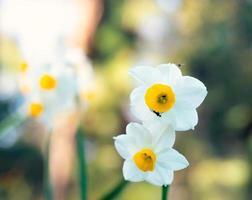 weiße Narzissenblüten auf einem unscharfen grünen Hintergrund foto