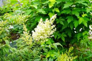 Holunderblüten auf einem Hintergrund des grünen Grases. foto