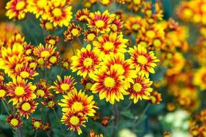gelbe Chrysanthemen der Blumenhintergrundblume auf dem Gartenbett. foto