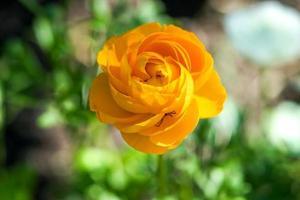 schöne hellgelbe Gartenmohnblume auf unscharfem natürlichem Hintergrund foto