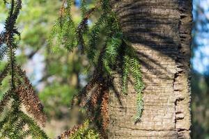 Zweige der Araukaria auf dem Hintergrund des Stammes an einem sonnigen Tag. foto