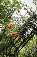 orange Blüten mit grünem Laub foto