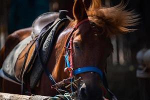 Nahaufnahme von braunem Pferdekopfporträt, Säugetiertier mit stabilem Leben in einem Bauernhof, reitendem Naturhaar und Gesicht von Stute, Pferd und Mähne foto