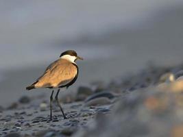 Spornflügel-Kiebitzvogel foto