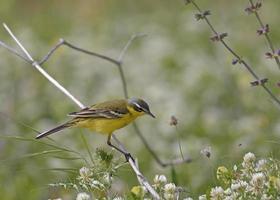 gelber Bachstelzenvogel foto