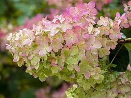 Nahaufnahme der rosa Blüten der Hortensie paniculata foto