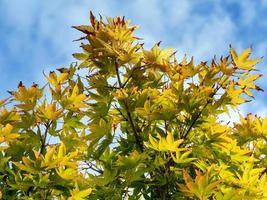 bunte Herbstahornblätter gegen einen blauen Himmel foto