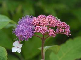 schöne lila Blüten und rosa Knospen von Hortensien Aspera Rocklon foto