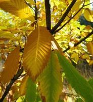 Herbstblätter von Kastanienbaum Aesculus Hippocastanum foto