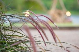 Nahaufnahme von Grasblumen, die auf der Wiese mit unscharfer Landschaft und Bokeh-Lichtern im Hintergrund wachsen foto