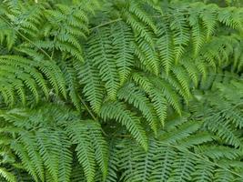 Nahaufnahme von dichten grünen Adlerfarnpflanzenblättern foto