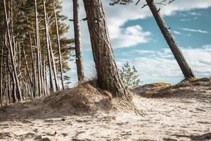 Wald an der Ostseeküste und Sanddünen mit Kiefern foto