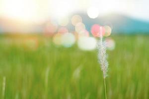 Selektiver Fokus nah oben auf Blumengras mit unscharfer Reisfarm und Berg im Hintergrund foto