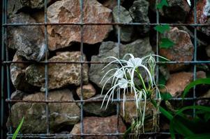 blühte weiße Blume mit unscharfer Steinmauer im Hintergrund foto